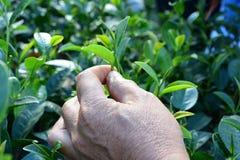 Selezionamento della punta della foglia di tè verde dalla mano umana sulla piantagione di tè Fotografia Stock Libera da Diritti