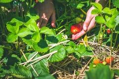 Selezionamento delle donne della fragola organica fresca nel campo Fotografia Stock