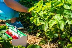 Selezionamento delle donne della fragola organica fresca nel campo Fotografia Stock Libera da Diritti