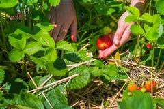 Selezionamento delle donne della fragola organica fresca nel campo Fotografie Stock Libere da Diritti