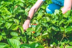 Selezionamento delle donne della fragola organica fresca nel campo Immagine Stock