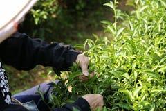 Selezionamento delle foglie di tè giovani Immagine Stock
