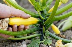 Selezionamento dello zucchino giallo su un'assegnazione. Fotografia Stock