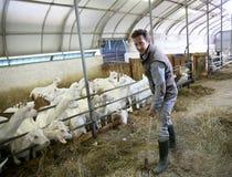 Selezionatore dell'uomo con le capre nel funzionamento del granaio Immagine Stock Libera da Diritti