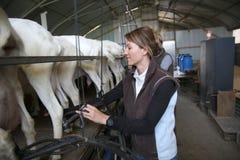 Selezionatore della donna che raccoglie latte di capra Fotografie Stock