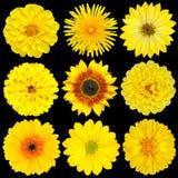 Selezione dei fiori gialli isolati sul nero Fotografia Stock