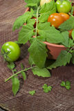 Selezione del pomodoro in una ciotola dell'argilla Immagini Stock
