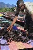Selezione della vaniglia dal Madagascar Fotografia Stock