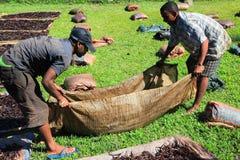 Selezione della vaniglia dal Madagascar Fotografia Stock Libera da Diritti