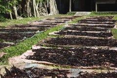 Selezione della vaniglia nel Madagascar Fotografie Stock Libere da Diritti