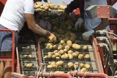 Selezione delle patate Immagine Stock