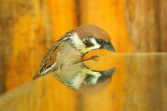 Self-admirer. Curious sparrow is looking to its reflection Stock Photography