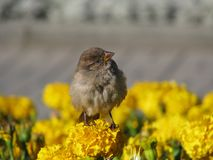 Self-confident sparrow. On flower in the middle of flowerbed Stock Photo