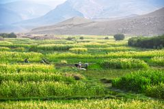 Self-sufficient labor-intensive farming in Morocco. Traditional sustainable agriculture Royalty Free Stock Images