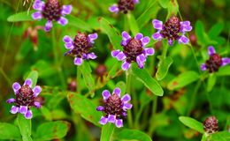 Selfheal Royalty Free Stock Images