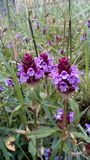 Selfheal photo stock