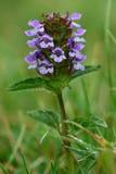 Selfheal (Prunella vulgaris) zdjęcie royalty free