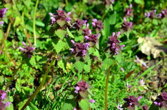 Selfheal prunella vulgaris growing on a meadow Royalty Free Stock Photo