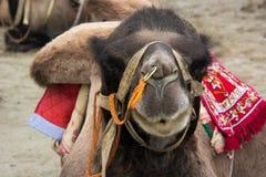 Selfie верблюда стоковая фотография
