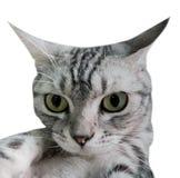 Selfie americano del gatto dello shorthair con lo smartphone Isolato su bianco Immagine Stock