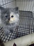 Selfie cat. Baby Kitten cute baby chubby sleepy beauty selfie twoface Stock Photos