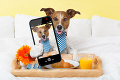 Selfie in bed. Dog taking a selfie in bed in the morning stock photos