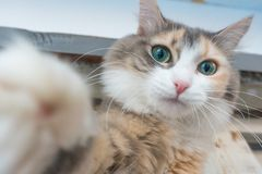 Selfie cat at home. Cat taking selfie at home looking at the camera royalty free stock photo