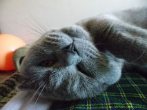 The Selfie Cat / Upside down. To sleep on the weekend. A cat always has this time stock image