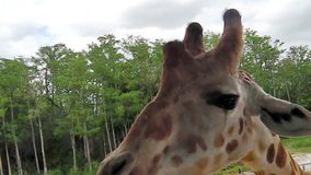 Selfie con la jirafa almacen de metraje de vídeo