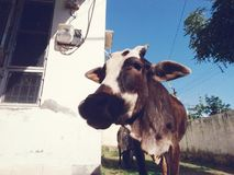 Selfie by cow. A calf is getting interested in camera Royalty Free Stock Image