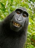 Selfie, Monkey, Self Portrait Royalty Free Stock Image
