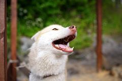 Selfie portrait Husky dog with a smile royalty free stock images