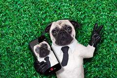 Selfie pug dog. Pug dog taking a selfie on grass or meadow in the park with peace or victory fingers Stock Images