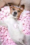 Selfie rose de valentines d'amour de chien Photos libres de droits