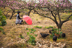 A selfie woman in peach orchard Stock Image