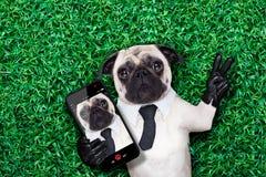 Selfiepug hond Stock Afbeeldingen