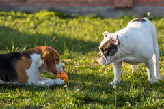 Selfish and greedy dog. Beagle dog and English Bulldog Royalty Free Stock Photos