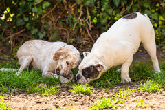Selfish and greedy dog. English setter and English Bulldog Royalty Free Stock Photography