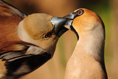 Selflessness. Lovemaking of birds. (Coccothraustes coccothraustes Stock Images