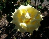 Selfridges Rose Stock Photo