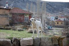 Watchdog stands on a wall in an anatolian village