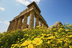 Selinunte in the flowers. The archaeological park of Selinunte in the yellow flowers Royalty Free Stock Image
