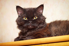 Selkirk Rex. Portrait of Cat, Selkirk Rex stock photo