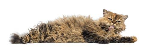 Selkirk Rex, 5 месяцев старых, лежа и очищая Стоковая Фотография