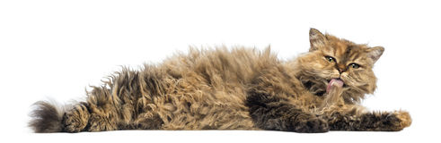 Selkirk Rex, 5 months old, lying and cleaning itself Stock Photography