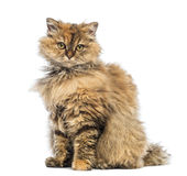 Selkirk Rex, 5 months old, sitting and looking at camera Royalty Free Stock Photography