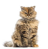 Selkirk Rex, 5 months old, sitting and looking at camera with evil look Royalty Free Stock Photo
