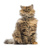 Selkirk Rex, 5 months old, sitting and looking up Royalty Free Stock Images