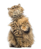 Selkirk Rex, 5 months old, sitting and looking up Royalty Free Stock Photography