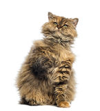 Selkirk Rex, 5 months old, sitting and looking up Stock Images